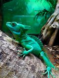 Green crested basilisk. This green crested basilisk is located at the Smithsonian national zoo in Washington DC stock photos