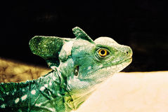Green Crested Basilisk Reptile Lizard Royalty Free Stock Images
