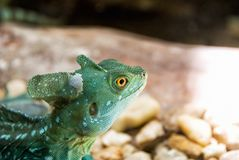 Green Crested Basilisk Reptile Lizard. One male green crested basilisk reptile lizard with bright yellow eyes. Selective focus on the eye with shallow definition royalty free stock photos