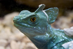 Green Crested Basilisk Resting. On the jungle Stock Images
