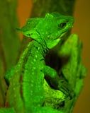 Green crested basilisk. Resting on branch stock image