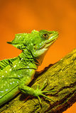Green Crested Basilisk - sitting on the branch Stock Images