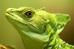 Green Crested Basilisk - Smithsonian's National Zoo and Conservation Biology Institute 2018 Series. Portrait of Green Crested Basilisk - Smithsonian royalty free stock photos