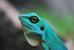 Green Crested Lizard. A close up photo taken on a green crested lizard by a road Stock Images