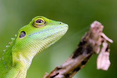 Green crested Lizard. Amazing and beautiful lizard found in a wasteland, near Penang, Malaysia. This lizard occurs throughout West Malaysia, and on the island of stock photography