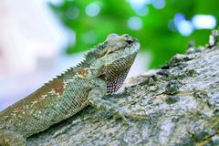 Green Crested Lizard Bark Tree Nature Background. Green Blurred Outdoor Tropical Reptile Trunk Log royalty free stock photos