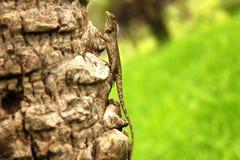 Green crested lizard, black face lizard, tree lizard,Boulenger Long headed Lizard, Pseudocalotes microlepis, masked spiny lizard. Green crested lizard, black royalty free stock images