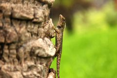 Green crested lizard, black face lizard, tree lizard,Boulenger Long headed Lizard, Pseudocalotes microlepis, masked spiny lizard. Green crested lizard, black stock photo