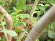 Green crested lizard, black face lizard, tree lizard. Close up royalty free stock photos