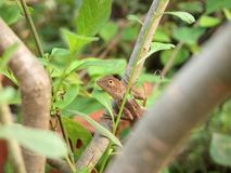 Green crested lizard. Black face lizard, tree lizard royalty free stock images