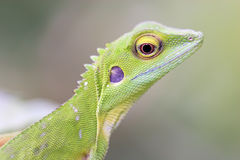 Green crested Lizard (Bronchoc. Amazing and beautiful lizard found in a wastelan, near Penang, Malaysia. family: Agamidae stock images