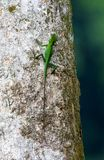 Green Crested Lizard, Bronchocela cristatella stock photo