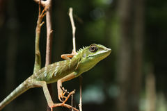 Green crested lizard (Bronchocela cristatella) royalty free stock images