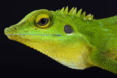Green crested lizard (Bronchocela cristatella) Royalty Free Stock Photos