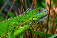 Green crested lizard (Bronchocela cristatella) royalty free stock image