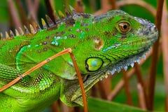 Green crested lizard (Bronchocela cristatella). Portrait od a green crested lizard (Bronchocela cristatella stock photos