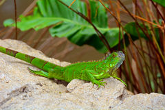 Green crested lizard (Bronchocela cristatella) royalty free stock photo