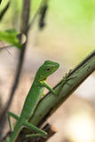 Green crested lizard - Bronchocela cristatella. Wild animal from Mulu National Park in Malaysia, Borneo Royalty Free Stock Photography