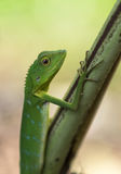 Green crested lizard - Bronchocela cristatella. Wild animal from Mulu National Park in Malaysia, Borneo Stock Image