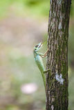 Green Crested Lizard Stock Image