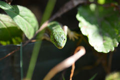 Green crested lizard on green grass Stock Photo