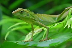 Green Crested Lizard on a large leaf looking calmly with eyes wide open