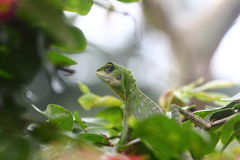 Green crested lizard looking for food stock photo