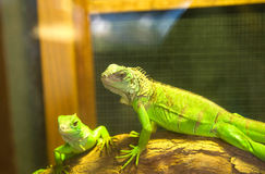 Green crested lizard. Is a pet royalty free stock photos