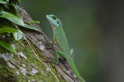 Green Crested Lizard Royalty Free Stock Photo