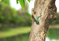 Green crested lizard. Royalty Free Stock Photo