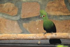 Green crested turaco. Sitting on the perch royalty free stock photos