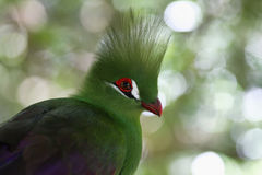 Green Crested Turaco Royalty Free Stock Photo