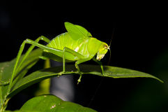Green Cricket. Macro photography of a green cricket on a black background Stock Photography