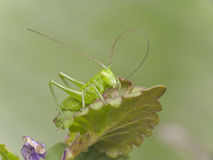 Green cricket Stock Images