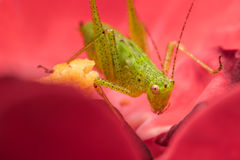 Green Cricket. Macro Photo Of A Green Cricket (Tettigonia viridissima) Sitting In A Rose Royalty Free Stock Photos
