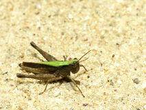 Green cricket. Photo taken in Rio de Janeiro botanic garden Royalty Free Stock Photography