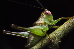 Green cricket stock image