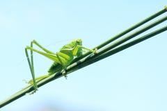 Green cricket royalty free stock photos