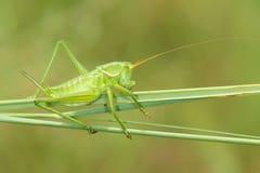 Green cricket stock photo