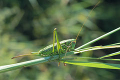 Green cricket Royalty Free Stock Photos