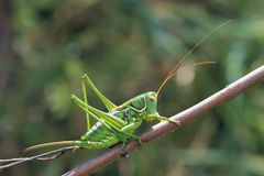 Green cricket. The close-up of a green female cricket on tree branches royalty free stock images