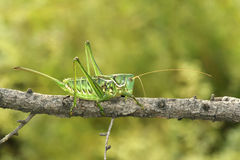 Green cricket. The close-up of a green female cricket on tree branches stock image