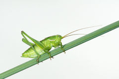 Green cricket royalty free stock image