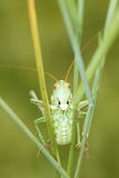 Green cricket Royalty Free Stock Images
