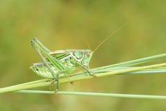 Green cricket Royalty Free Stock Photo