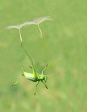 Green cricket and dandelion Stock Photo