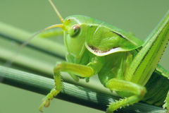 Green cricket Royalty Free Stock Photography