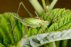 A green cricket on raspberry leaf Stock Photo