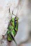 Green cricket is sitting upright on a gray wal Stock Photos