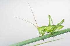 Green cricket Stock Photos
